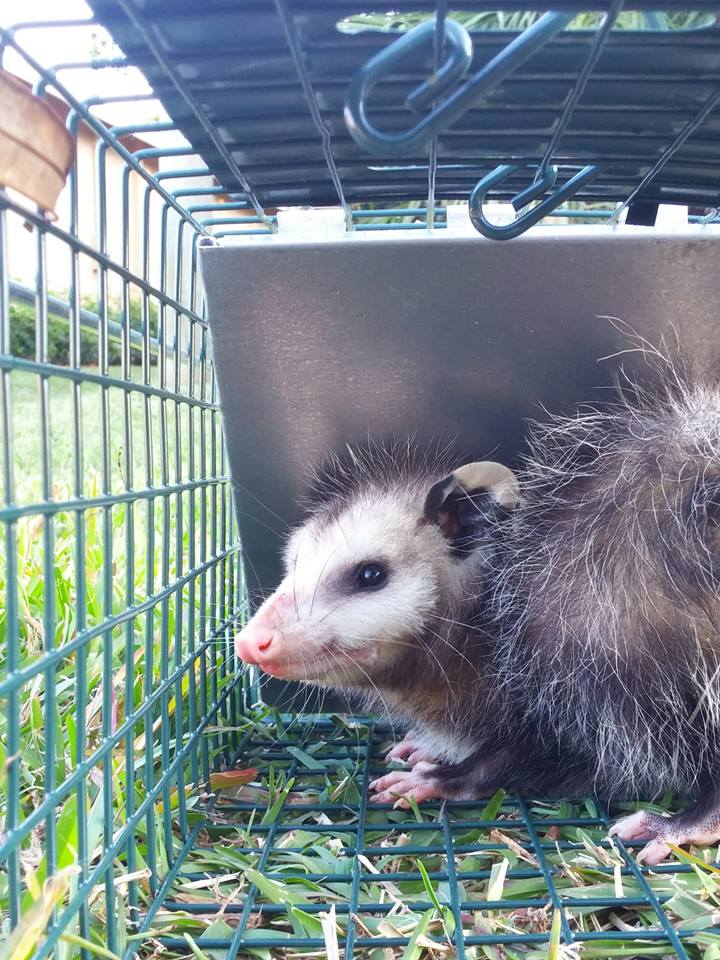 what do possum babies sound like
