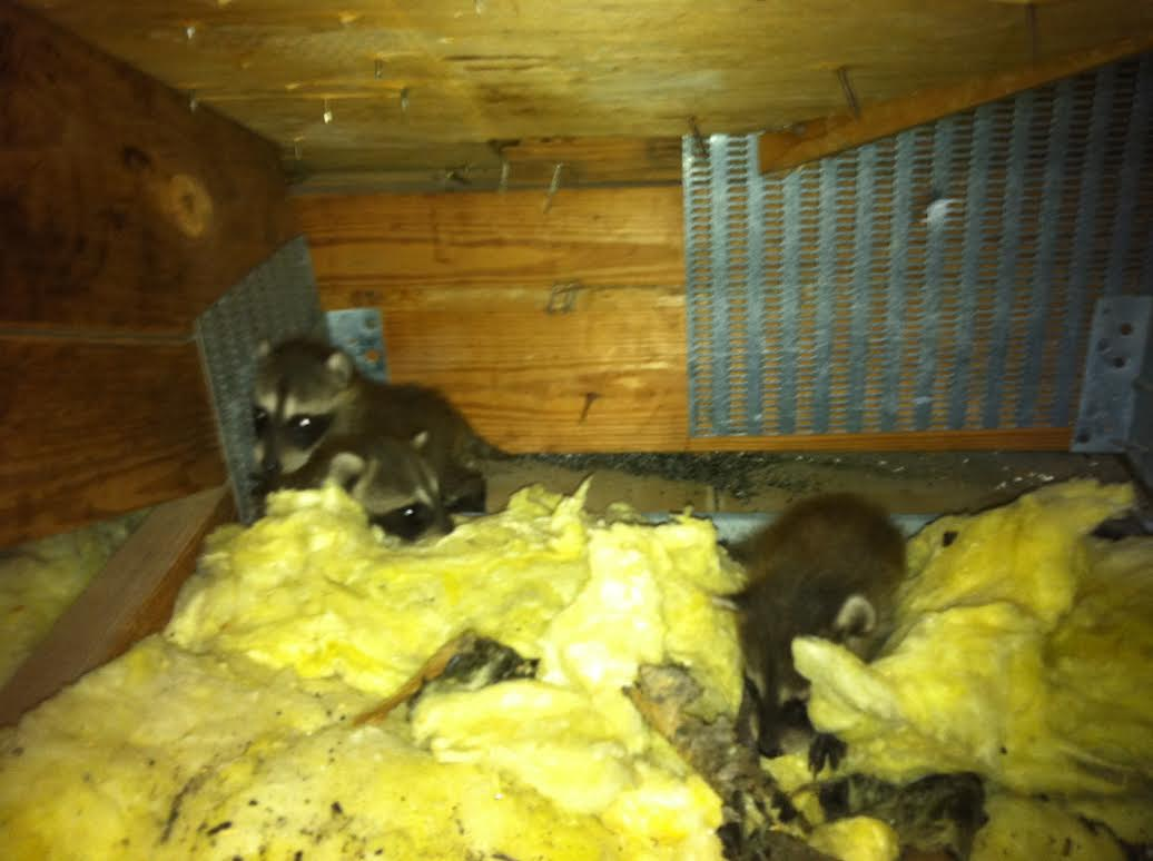 hear raccoons in your attic