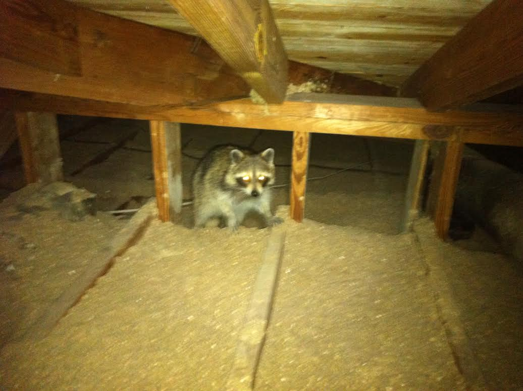 why are raccoons in my attic