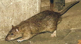 diseases from rat poop