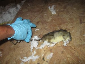 Rat Removal Blog